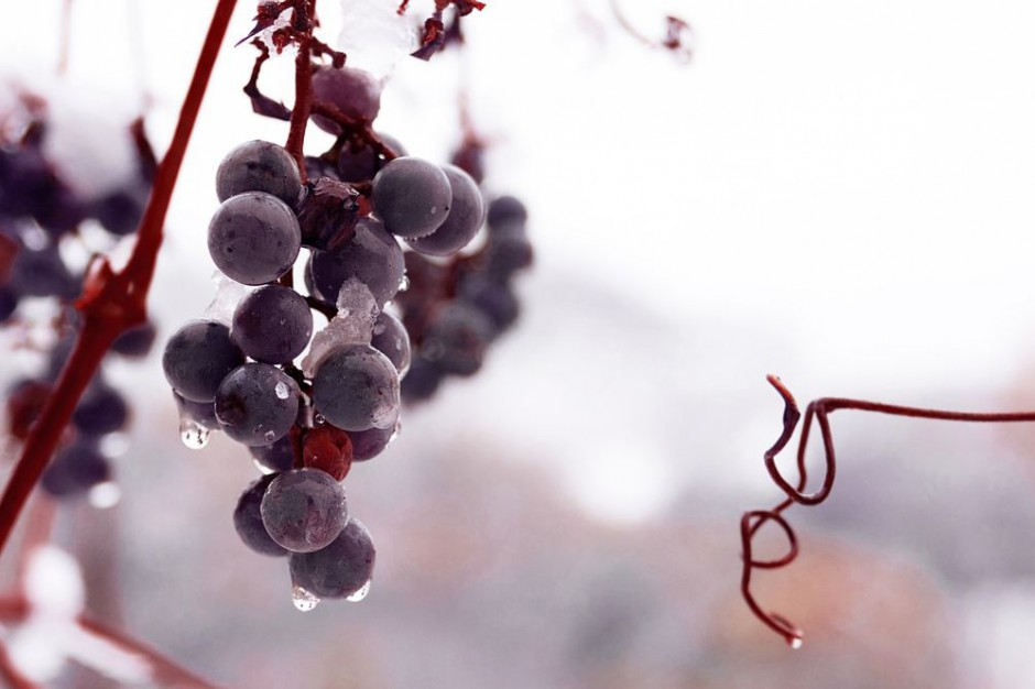 Zachodniopomorskie / Baniewice: Zebrano winogrona na wino lodowe