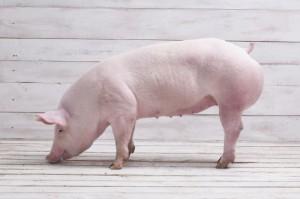 Chiny: Sztuczna inteligencja pomoże hodowcom świń