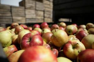 Rosja zakazuje importu jabłek z 31 białoruskich firm