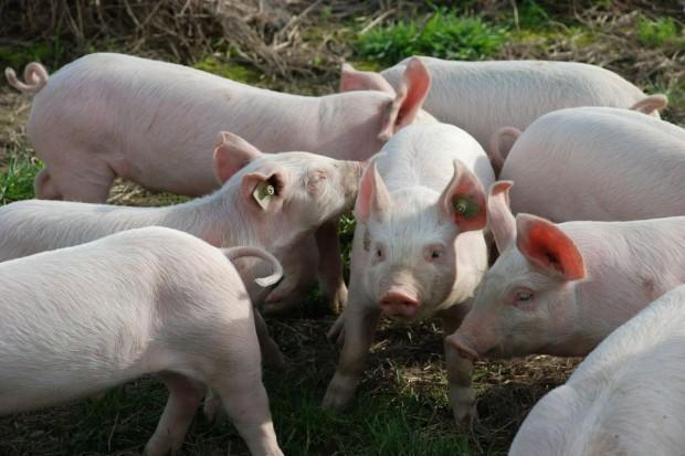 Rolnicy z łódzkiego: Jeśli nie ASF, to wykończy nas bioasekuracja