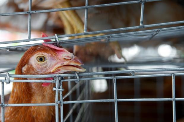 Wirusy grypy ptaków krążą po Europie
