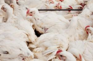 NIK krytycznie o stosowaniu antybiotyków w hodowli zwierząt