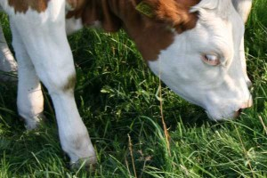 Podlascy hodowcy zlicytowali najlepsze sztuki bydła mięsnego