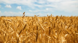 Światowe ceny zbóż pozostaną niskie mimo spadku zapasów