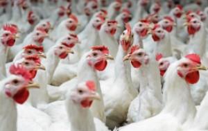 Niemcy: Pierwsze w 2018 roku ognisko wirusa grypy ptaków w komercyjnym gospodarstwie