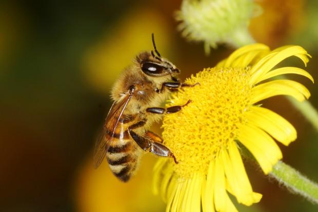Władze Małopolski przeznaczyły 500 tys. zł na ochronę pszczół