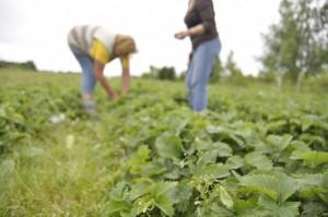PZU ubezpiecza sady i truskawki