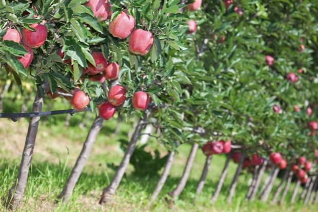 Rosja liczy na wzrost produkcji owoców w 2018 r.