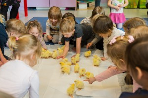 Zdjęcie numer 2 - galeria: KRD-IG edukuje przedszkolaków na temat drobiu (zdjęcia)