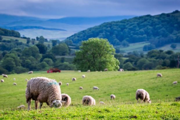 Blisko 580 tys. zł na dofinansowanie hodowli owiec i kóz