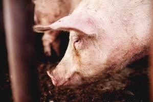 Gobarto: Aby poprawić stan polskiej wieprzowiny, nie wystarczą tylko działania hodowców
