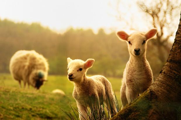 Redyk owiec w Bieszczadach i Beskidzie Niskim dopiero na początku maja