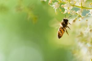 Pszczoły nie nadążają za szybko kwitnącymi drzewami i krzewami