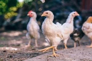 Katowice: kampania na rzecz poprawy warunków hodowli kurczaków