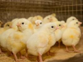 Sytuacja na rynku drobiarskim daje podstawy do umiarkowanego optymizmu