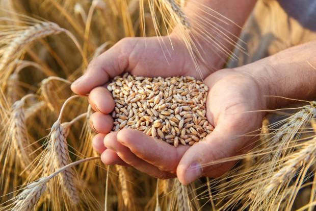Niski popyt importowy na polską pszenicę