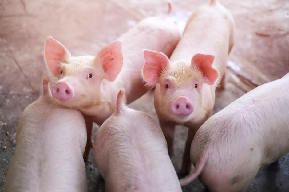 Lubelskie: Wykryto dwa nowe ogniska ASF u świń