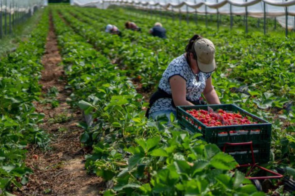 Bronisze: brakuje siły roboczej do zbioru owoców