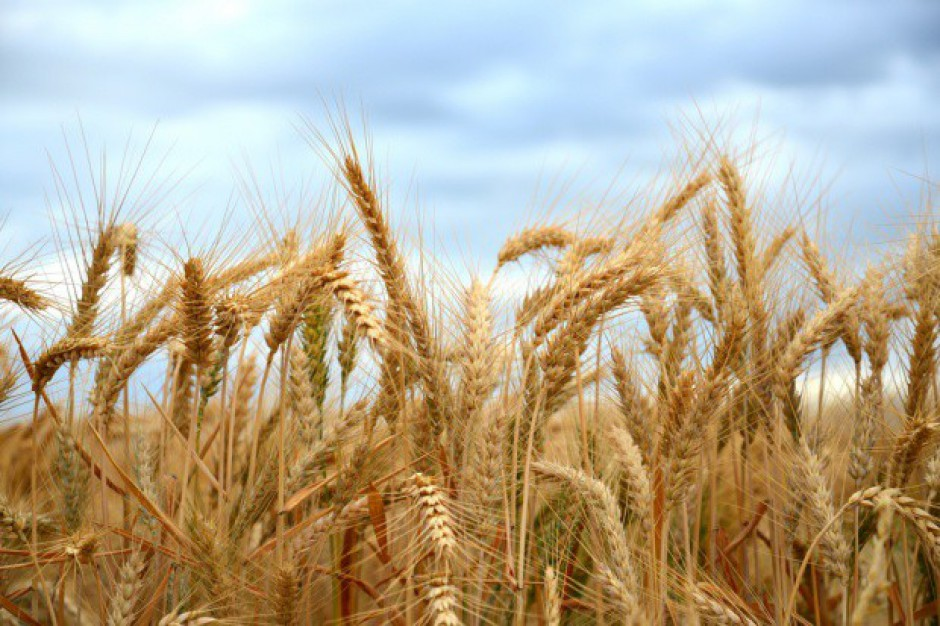 IERGiŻ: W 2018 r. przewiduje się minimalny spadek zbiorów zbóż (raport)