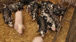 Masarnie i restauracje doceniają mięso ze świń rasy puławskiej