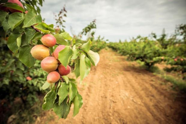 Spadek produkcji brzoskwiń i nektaryn w Europie