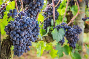Podkarpacie: zapowiada się urodzajny rok w uprawie winorośli