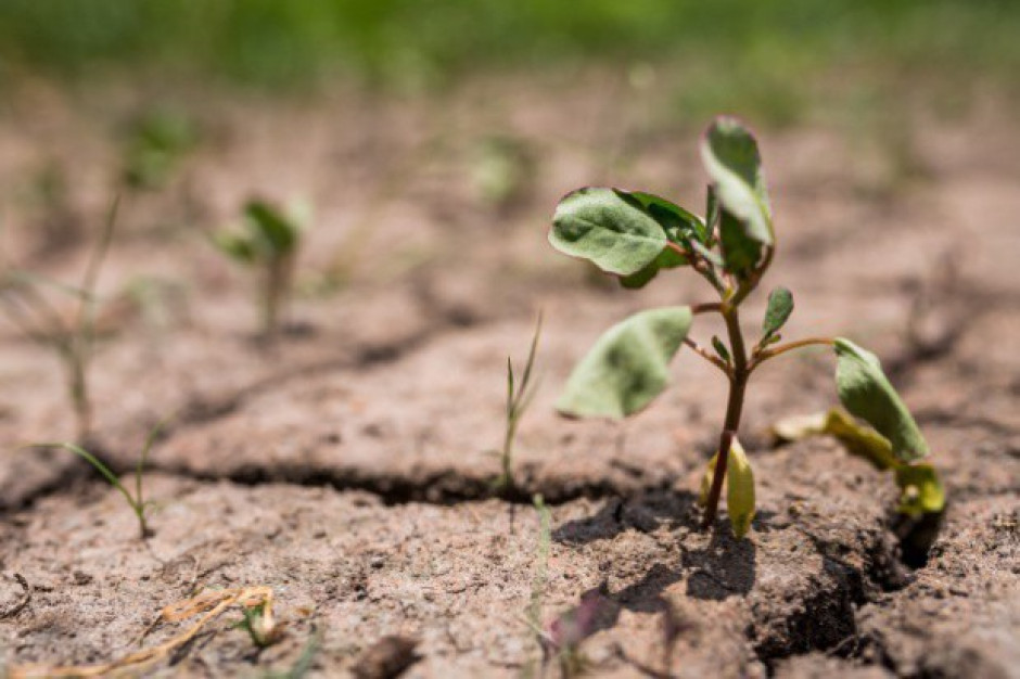 Niemcy: Rolnicy mogą stracić większość swoich plonów z powodu suszy