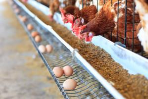 Dobry początek roku dla producentów drobiu i jaj