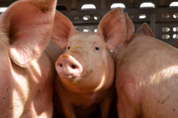 Inspekcja Weterynaryjna: Tempo kontroli bioasekuracyjnych jest zbyt wolne