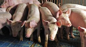 Producenci trzody chlewnej nie chcą promować mięsa od importowanych świń