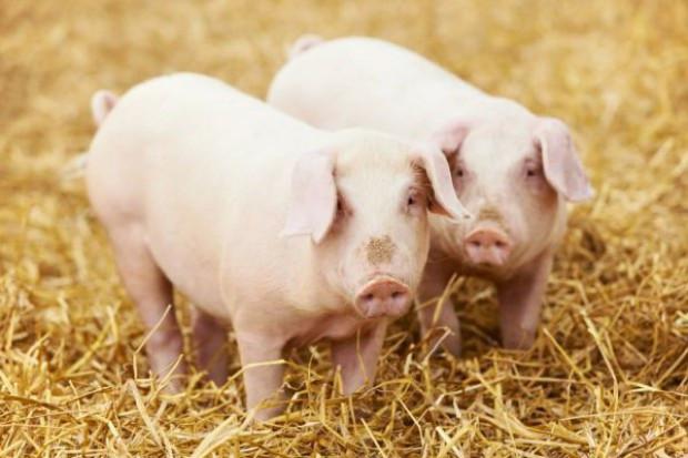 Konserwy ze świń z terenów z ASF wyprodukowano ze zdrowych tuczników