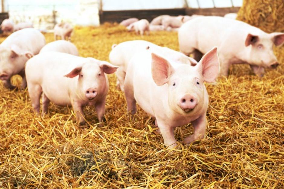 Wykryto pięć nowych ognisk ASF u świń