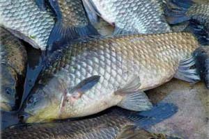 Jedzenie ryb może przedłużyć życie