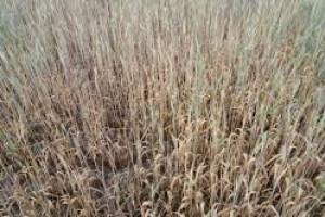 Ponad 111 tysięcy gospodarstw poszkodowanych z powodu suszy