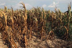 MRiRW: Straty z powodu suszy to ponad 874 mln zł