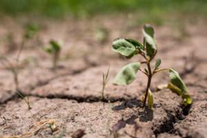 Susza spowoduje wzrost cen zbóż?