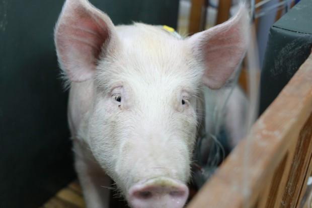 Inspekcja Weterynaryjna o zwalczaniu ASF: Rozumiemy niezadowolenie rolników