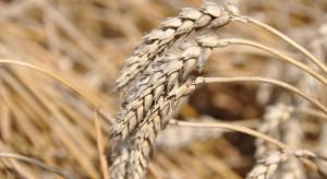 Izba Zbożowo-Paszowa: Na rynku duże zróżnicowanie cen zbóż