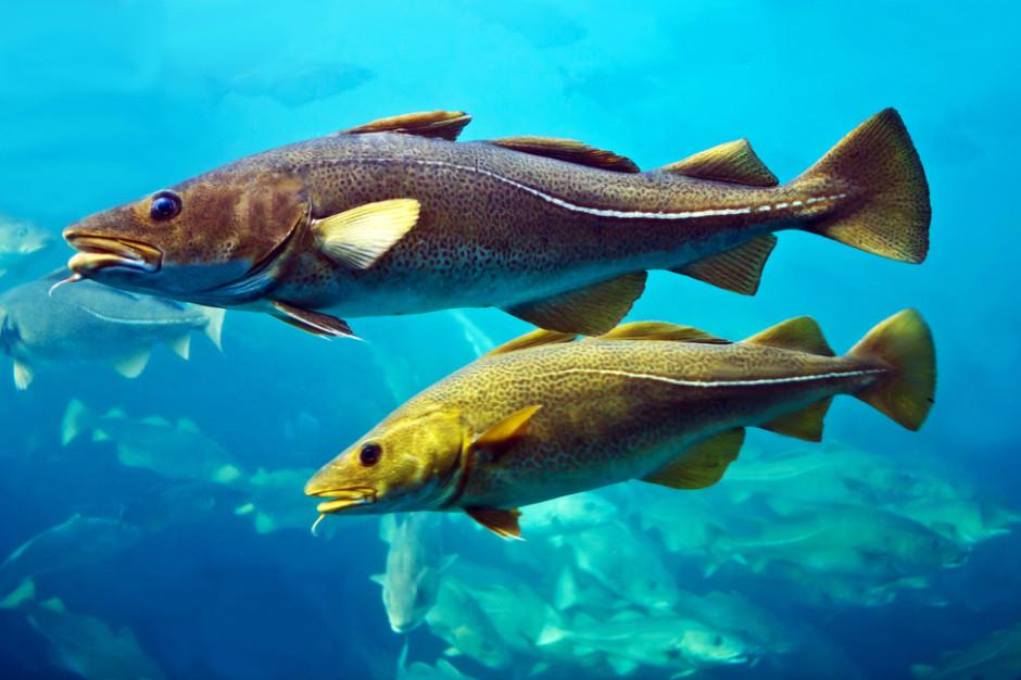 Przez upały dorsz bałtycki ucieka na głębokie wody