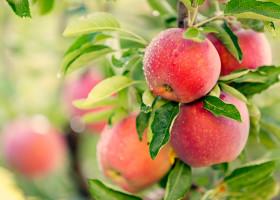 Zapowiadają się rekordowe zbiory jabłek, sięgające nawet 5 mln ton