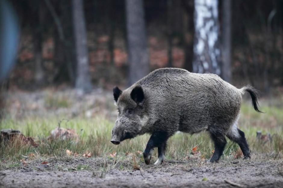 Ponad 40 nowych przypadków afrykańskiego pomoru świń