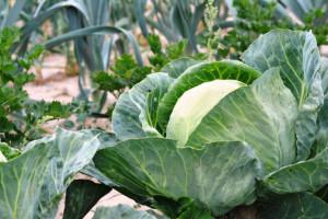 UE: Susza powoduje spore straty w warzywach gruntowych