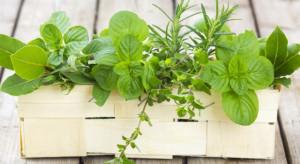 Ogrody Ziołowe: Polacy cenią sobie popularne zioła. Z ciekawości sięgają też po te nieznane