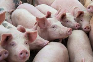 Chińskie ministerstwo rolnictwa informuje o kolejnym ognisku ASF
