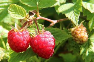 MSZ wycofuje się z dotowania zakładania plantacji malin na Ukrainie