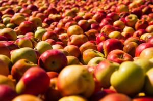Rekordowa nadpodaż jabłek - problem zarówno producentów, jak i przetwórców