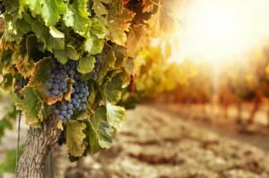 Francja oczekuje lepszego winobrania