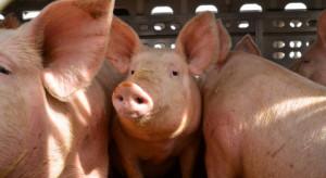 Projekt dot. ułatwień sprzedaży mięsa z tuczników ze stref ASF trafi do II czytania