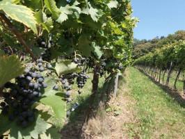 Węgry: w tokajskich winnicach trwa winobranie