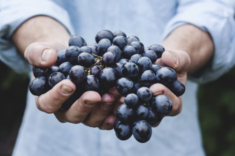 Gęsi w winnicy poprawiają jakość wina